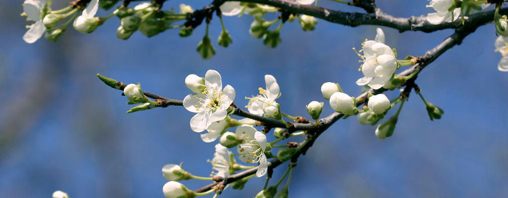 White blossom on a blossom tree in the sunshine