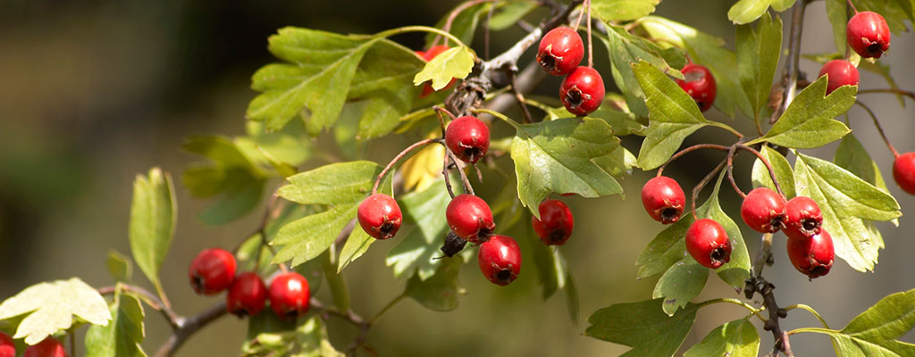 Red berries on a berry bush