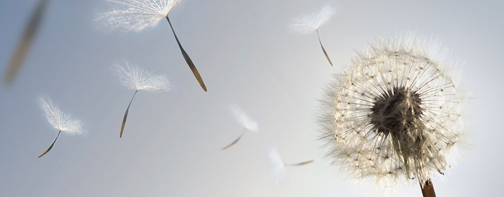 Dandelions blowing away in the wind into the air