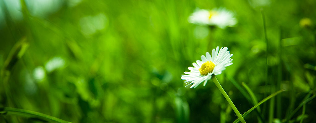 Daisies growing in long grass